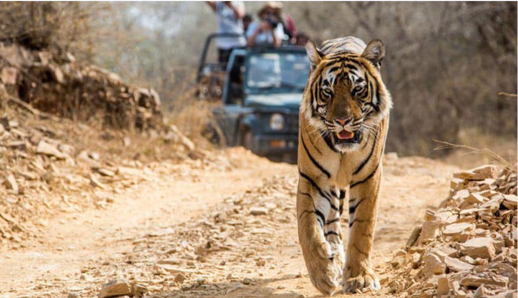 Intialainen tiikeri